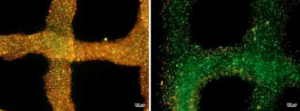 Des chercheurs créent un bioink qui fournit de l'oxygène aux cellules tissulaires imprimées en 3D