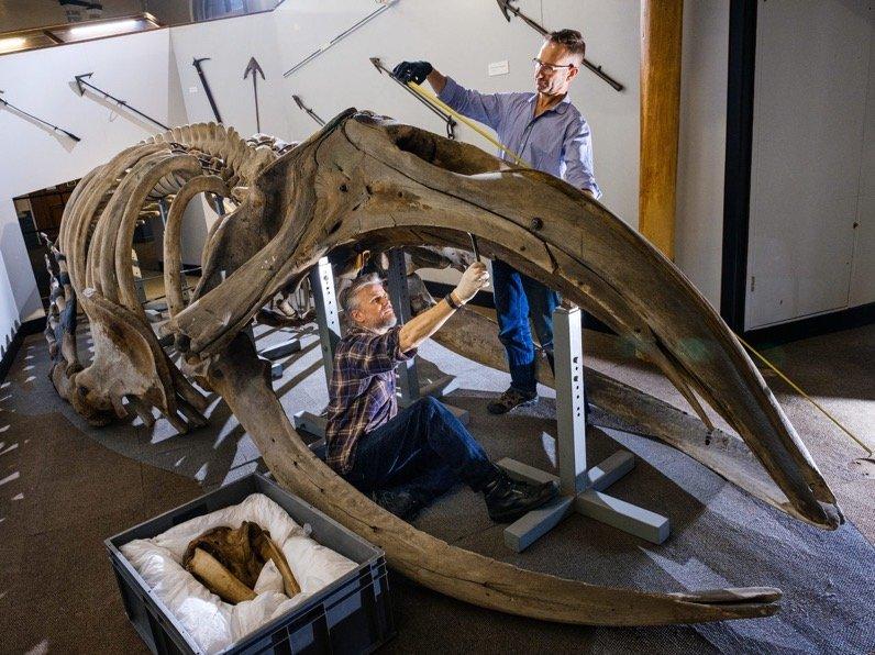 Ce qu'il faut pour démanteler et déplacer un squelette de baleine de 40 pieds